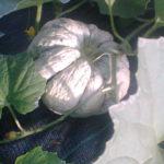 Melon ancien Prescott