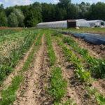 semis carottes primeurs